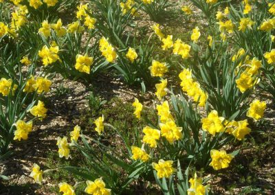 Whitby Waterfront Trail ~ Daffodils